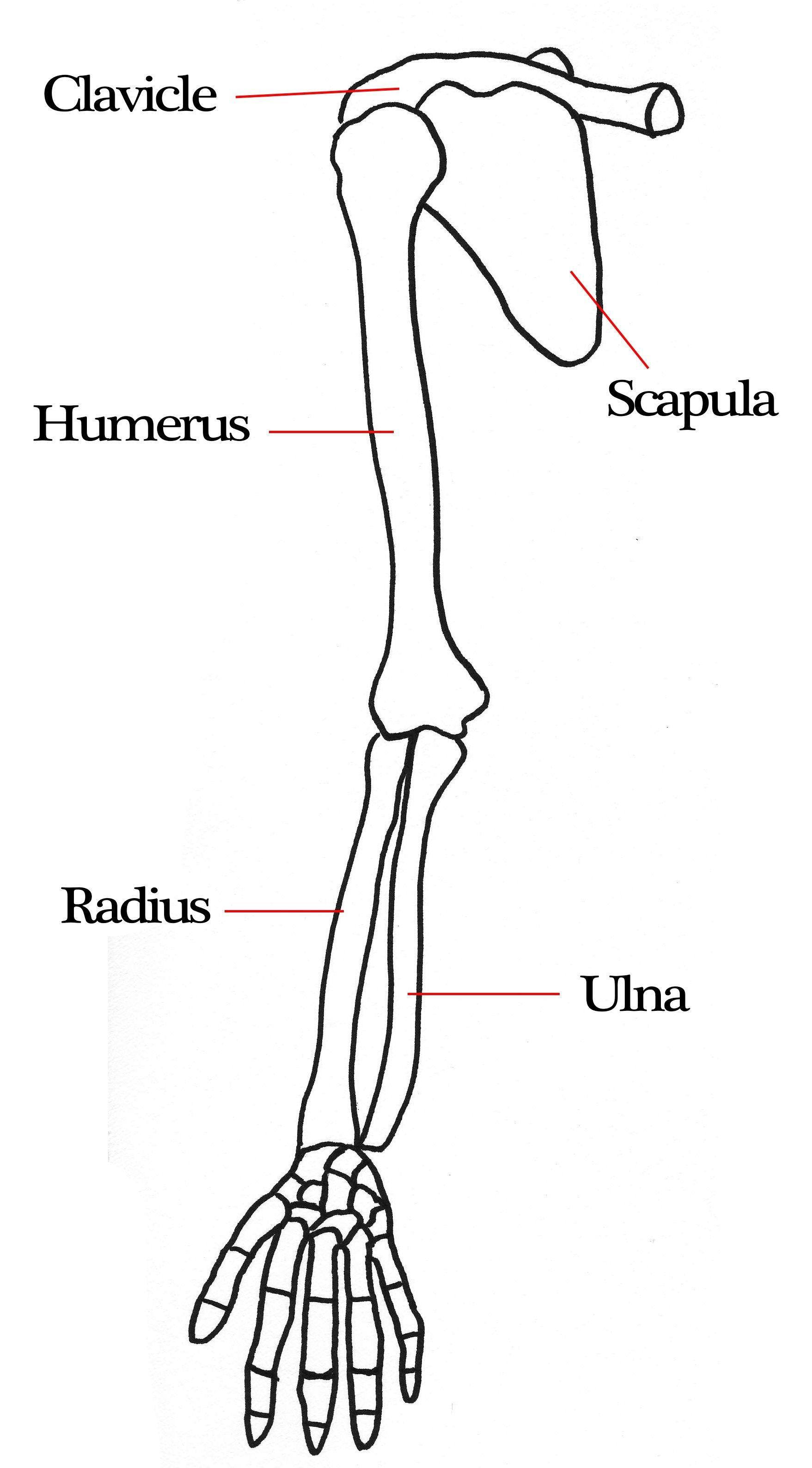 medium resolution of arm bone diagram arm bone diagram pictures human arm bone diagram arm bone diagram arm bone