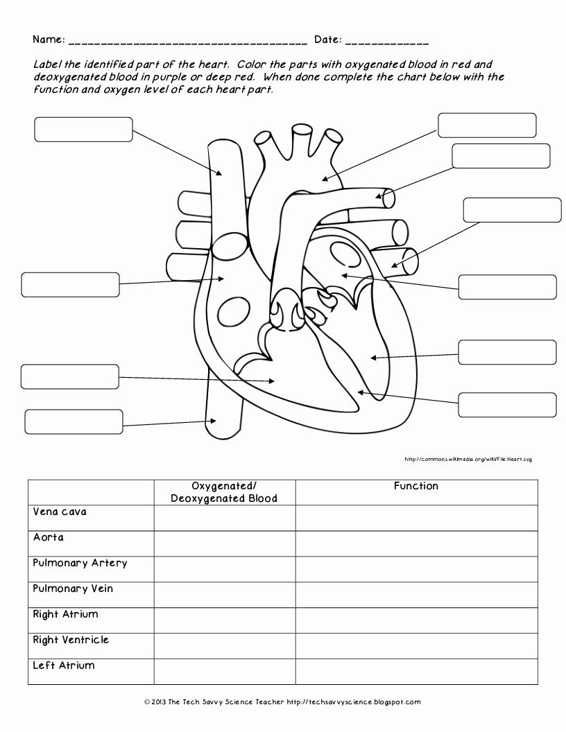 Heart Anatomy Coloring Worksheet Fresh Anatomy Labeling ...