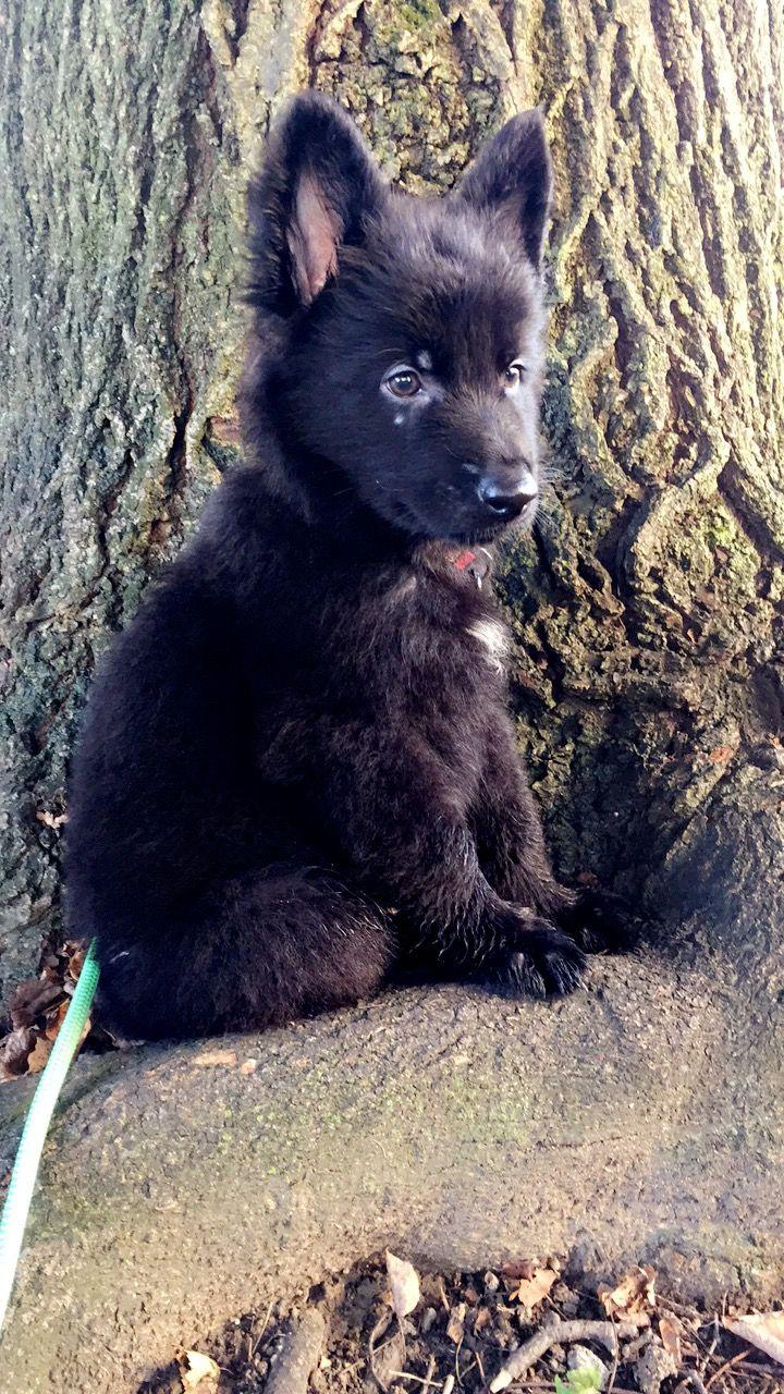 7 Week Old Solid Black German Shepherd Puppy Mr Mac With Images