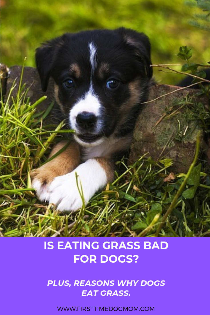 Is Eating Grass Bad For Dogs Plus Reasons Why Dogs Eat It Caini