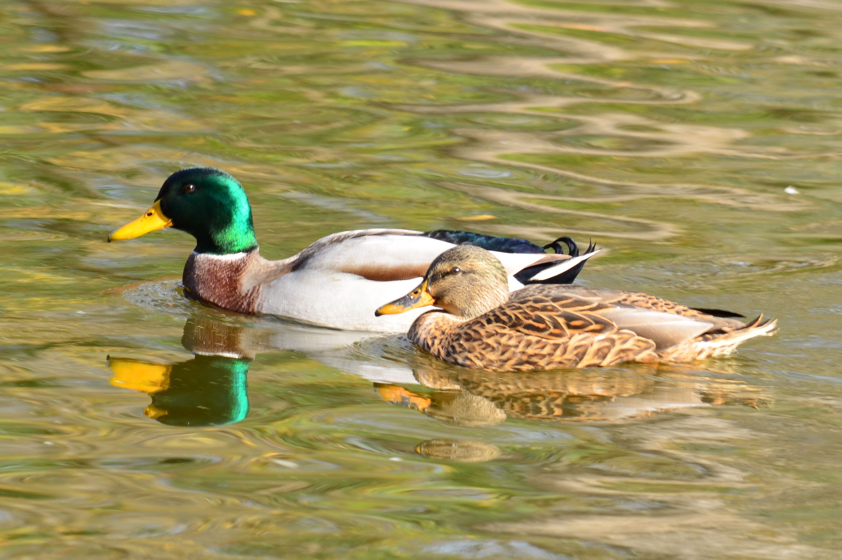 Swimming Duck Couple
