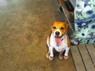 Chopper Is A 9 Year Old Beagle At Orange County Animal Services