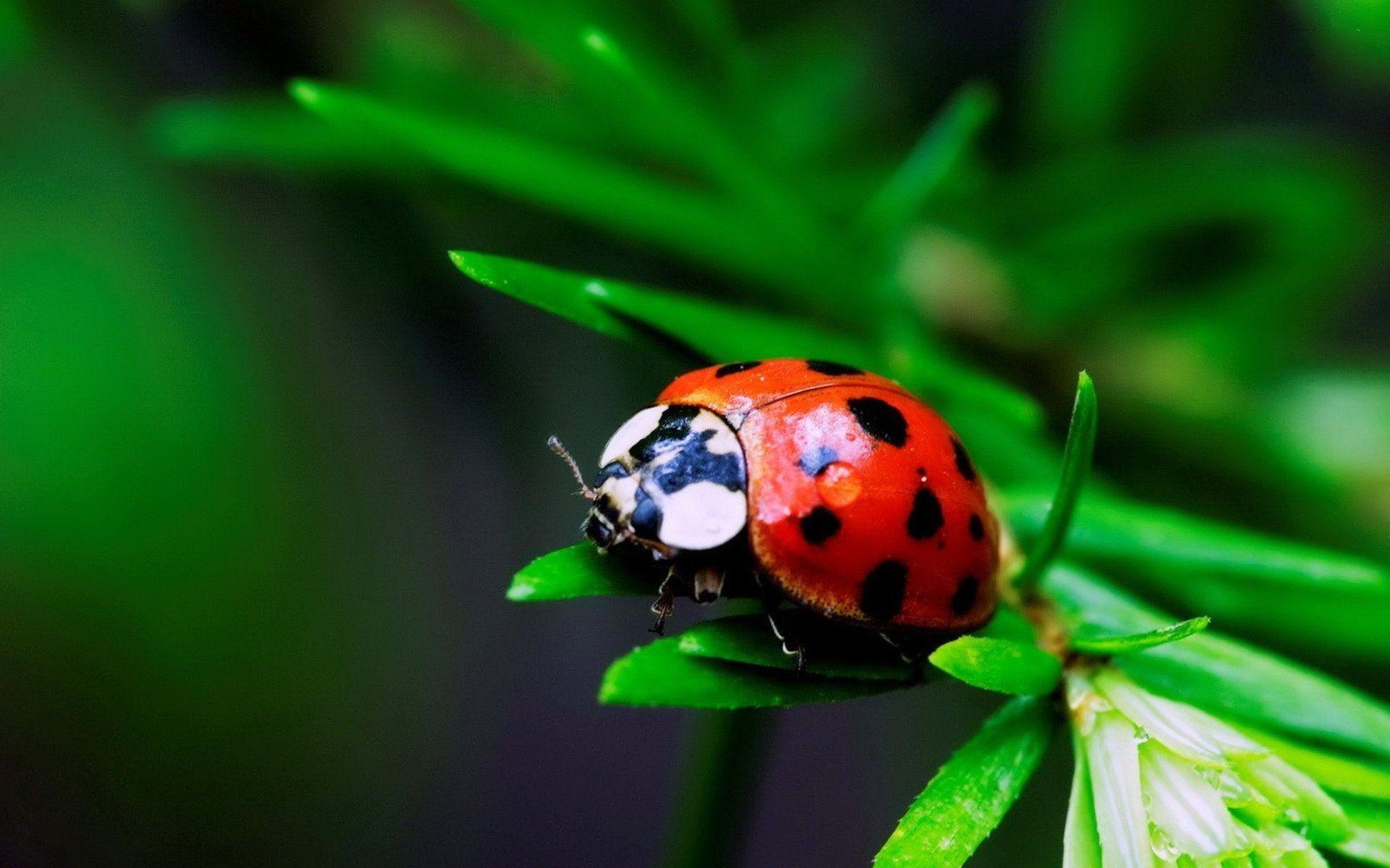 ladybugs   ladybugs wallpaper macro photography ~ hd wallpapers