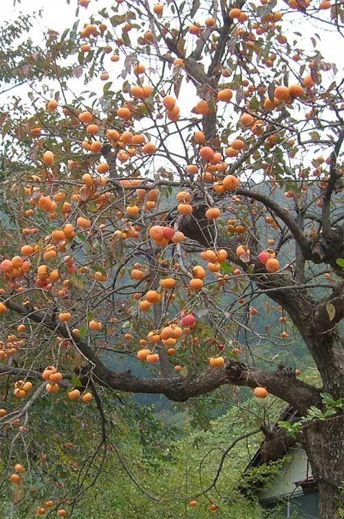 Persimmon Tree Kaki Fruit Trees Garden Trees Edible Landscaping