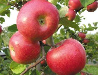 Apple Varieties — Adams County Nursery