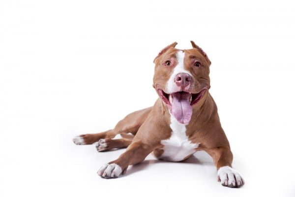 Pit Bulls Find Shelter In Fair Housing Act Against Breed