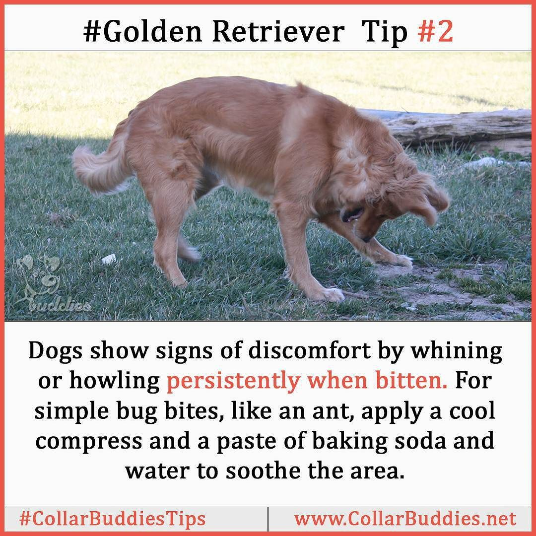If you find this tip worthy then share it with your friend by tagging them here.  Also feel free to ask if you have any query regarding Golden Retriever.  #collarbuddies #goldenretrieverofinstagram #goldenretrieverclub #goldenretrieverlovers #goldenretriever_ofinstagram #goldenretrieveroftheday #goldenretriever_pictures #goldenretrieveroninstagram #goldenretrieversworld #goldenretrieverdog #goldenretrieverinstagram #goldenretrieverdaily #collarbuddies #ilovegolden  #ilovegolden_retrievers…