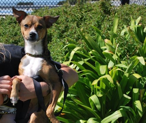 Chiman Jack Russell Terrier Chihuahua Dog San Francisco Ca