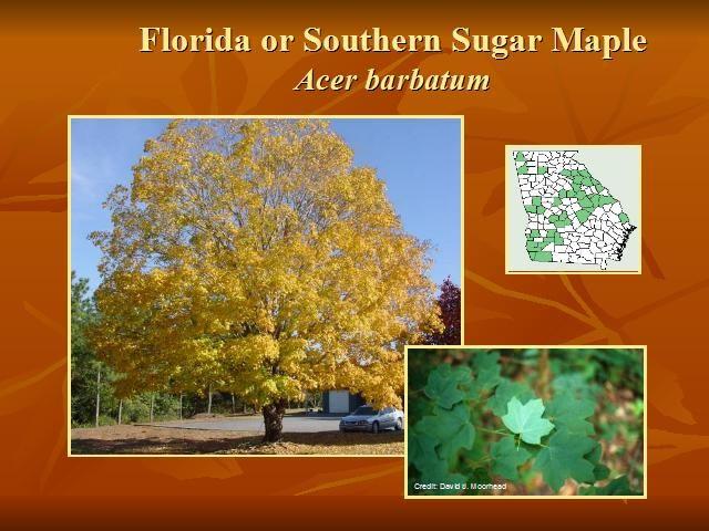 Florida Or Southern Sugar Maple Acer Barbatum Native Plants
