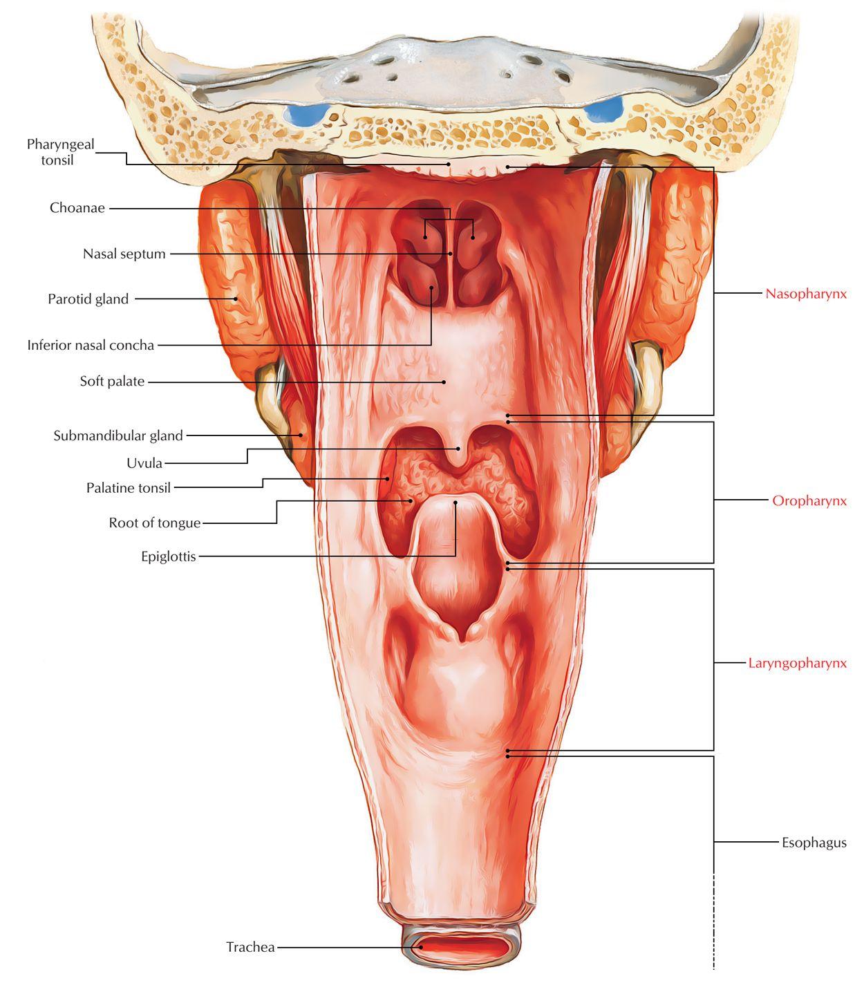 Pharyngeal Tonsils Pictures Human Body Anatomy Pinterest Human