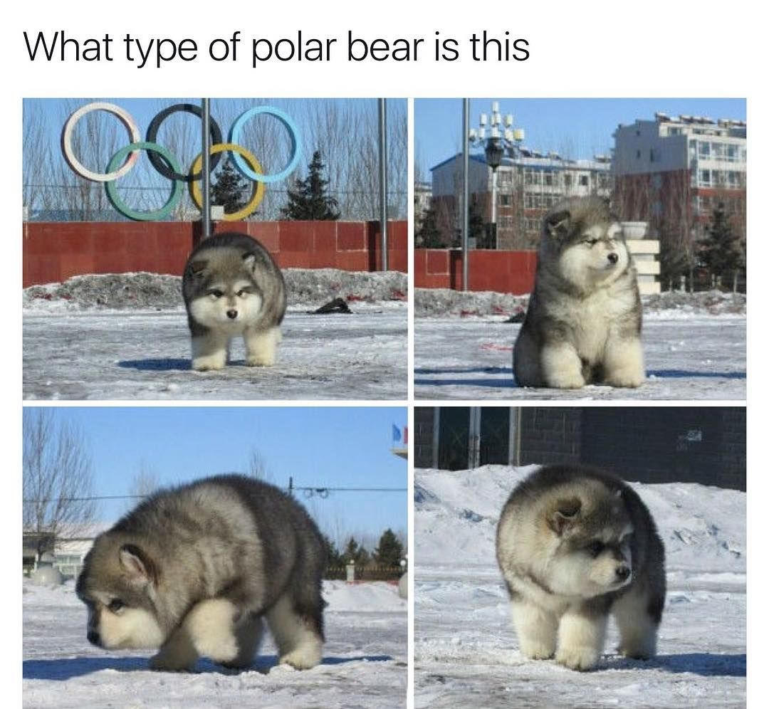 Top Alaskan Malamute Chubby Adorable Dog - 5d42f972372ab870bc38add9cc5de378  Graphic_396660  .jpg