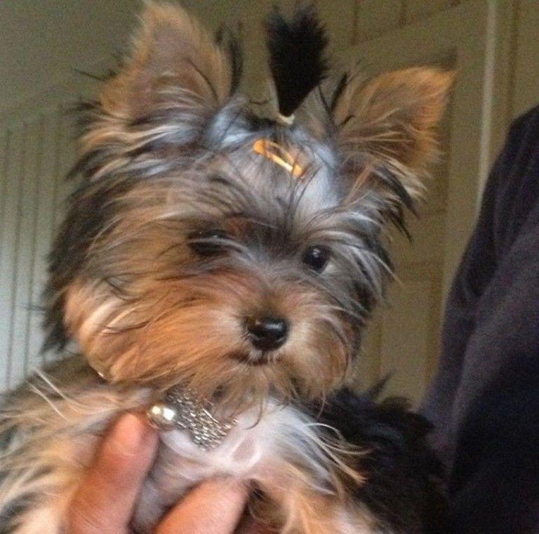 Black Yorkie Puppy For Sale Ideas