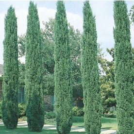 1 7 Gallon Italian Cypress Feature Tree L3291 Nursery