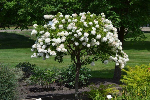Pee Gee Hydrangea As A Tree Zone 4 Blooms July To Frost Blooms On New Wood Prune In Late Winter Or Early Flowering Trees Ornamental Trees Pee Gee Hydrangea
