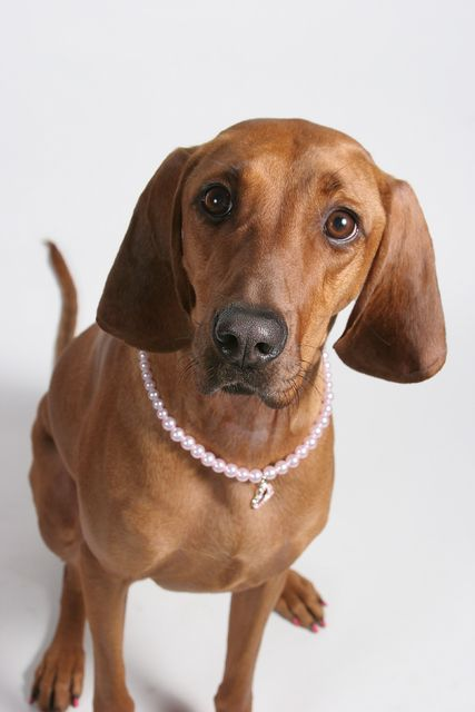 Redbone Coonhound I Have One And She Is A Huge Lovable Dog