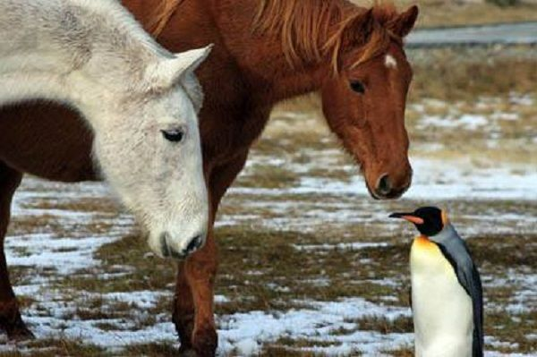 Unlikely friendships are the best, especially when they're between horses and a penguin.