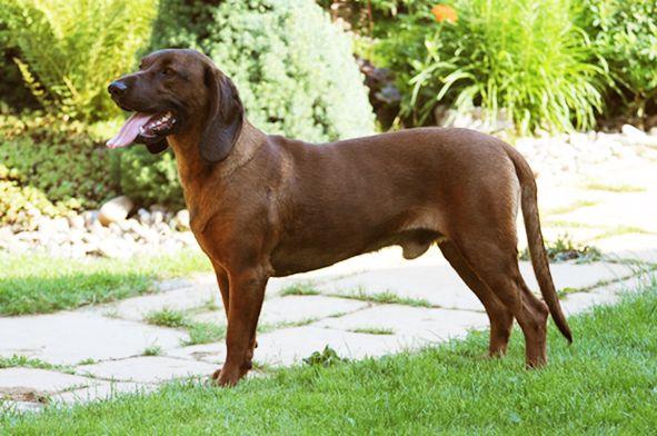 Cirio Z Dudnisk Bayrischer Gebirgsschweisshund Dogforshow Bayrischer Gebirgsschweisshund Hunde Gebirge