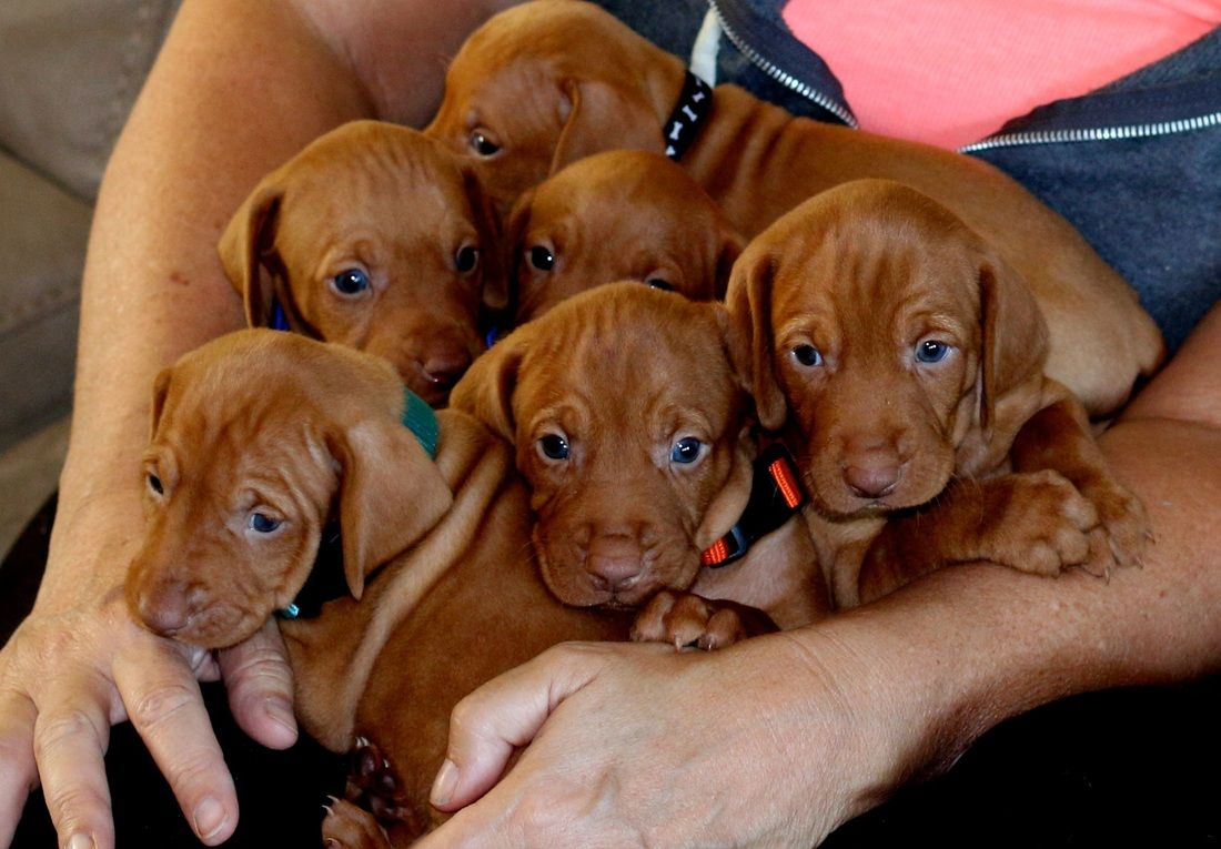 Vizsla Puppies for sale allthingsnewvizslas Puppies