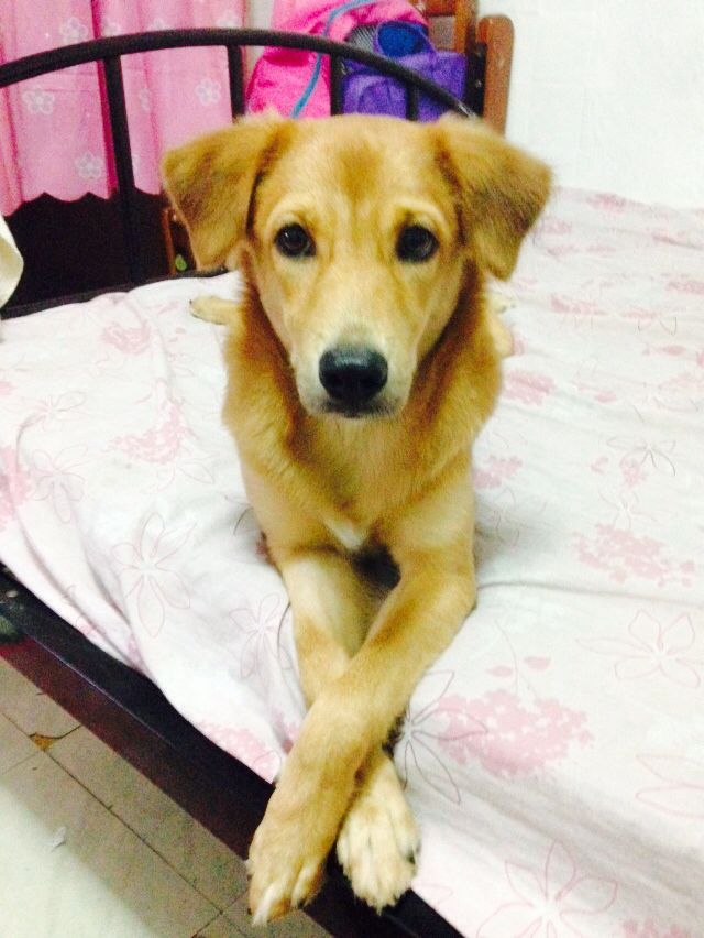 Her Name Is Cherry Vum Breed Askal Looks Like Golden Dogs Dogs