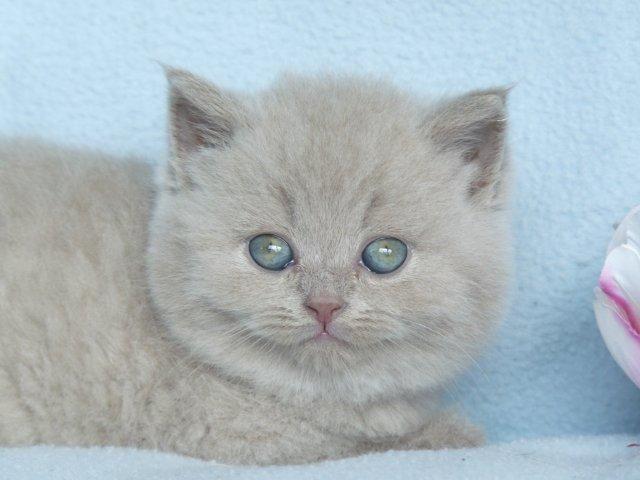 British Shorthair Kitten Cattery Van Brifety The Netherlands Www Kittentekoop Nl American Shorthair Cat British Shorthair Kittens Cute Cats