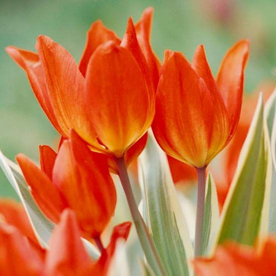 Designing with Spring Bulbs | Pay Attention to Foliage - Some bulb varieties have variegated foliage -- and choosing them adds interest to your landscape, even after the flowers fade. Some top choices include tulips 'Unicum', 'New Design', and 'Red Riding Hood'; Camassia 'Blue Melody' and 'Sacajawea'; and Fritillaria imperialis 'Aureomarginata'.