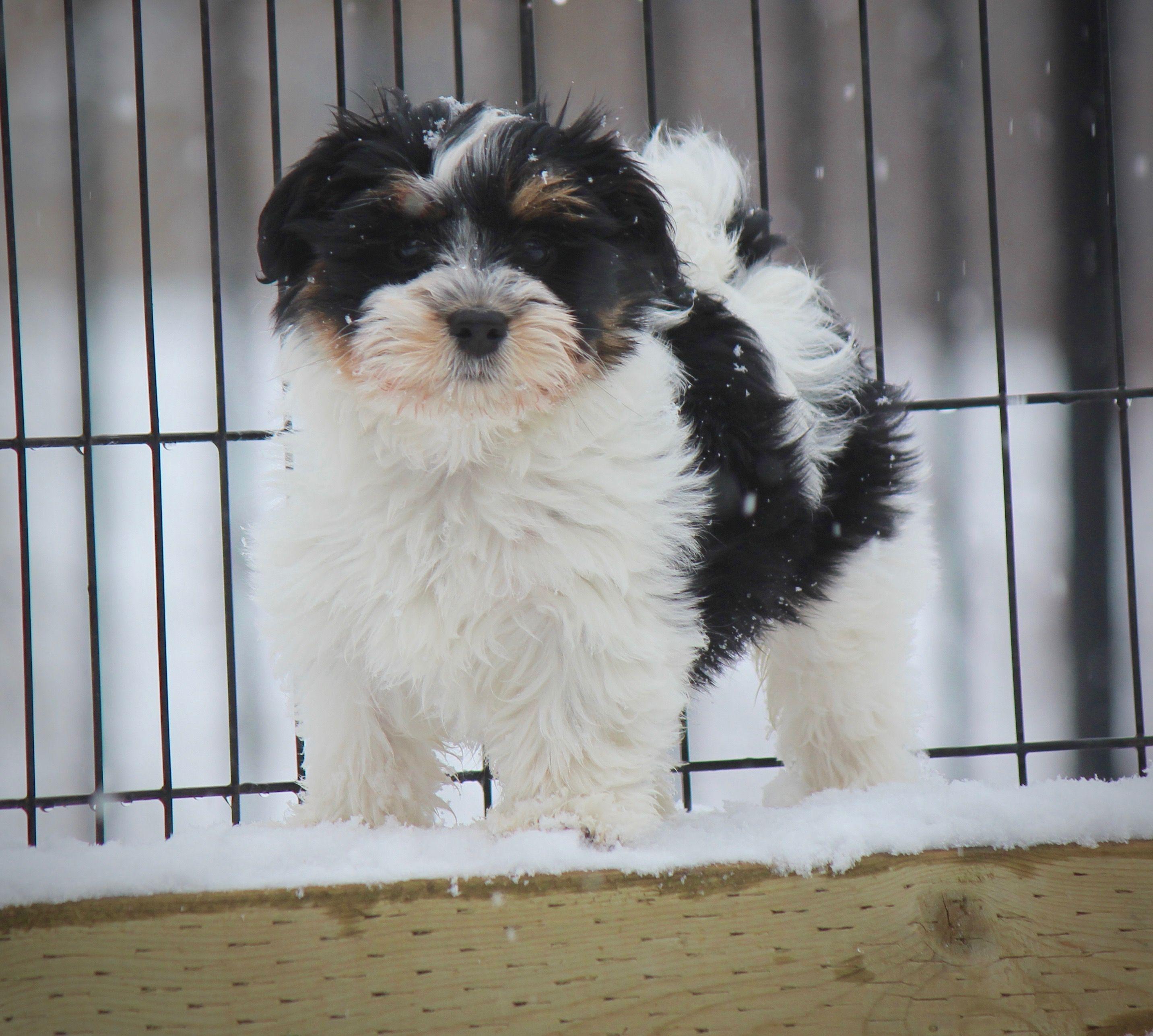 Cute Little Bichon Shih Tzu Pup From Babybarks Ca Our Shichon