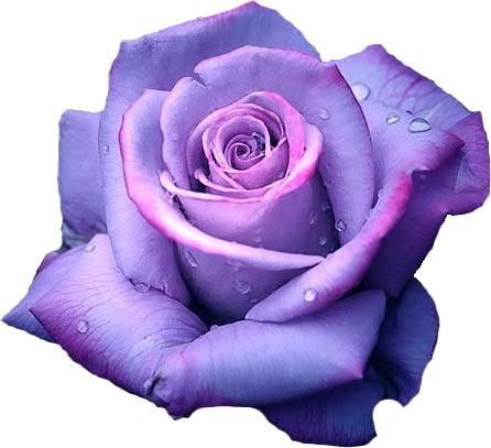 black kitten purple roses Google Search Fotos de