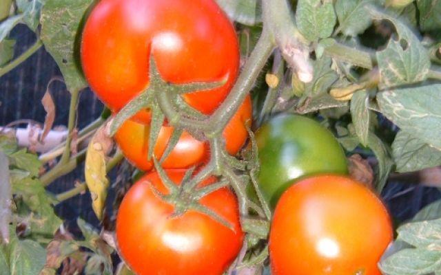 Coltivare l'orto - Quanto tempo aspettare per la raccolta nell'orto? #raccolta #ortaggi #tempi #maturazione