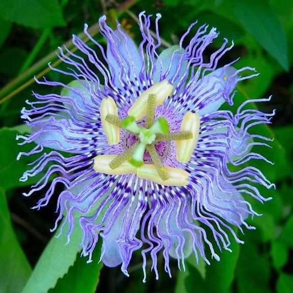 Passiflora Incarnata Maypop Blue Passion Flower Passion Flower Flowering Vines