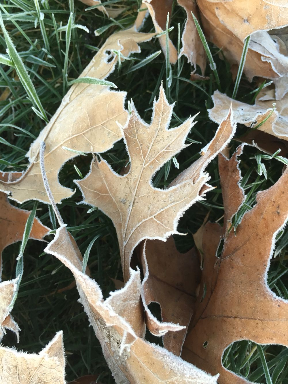 Frost on the leaves. Must be winter.   Version 2.  Rather have summer weather.