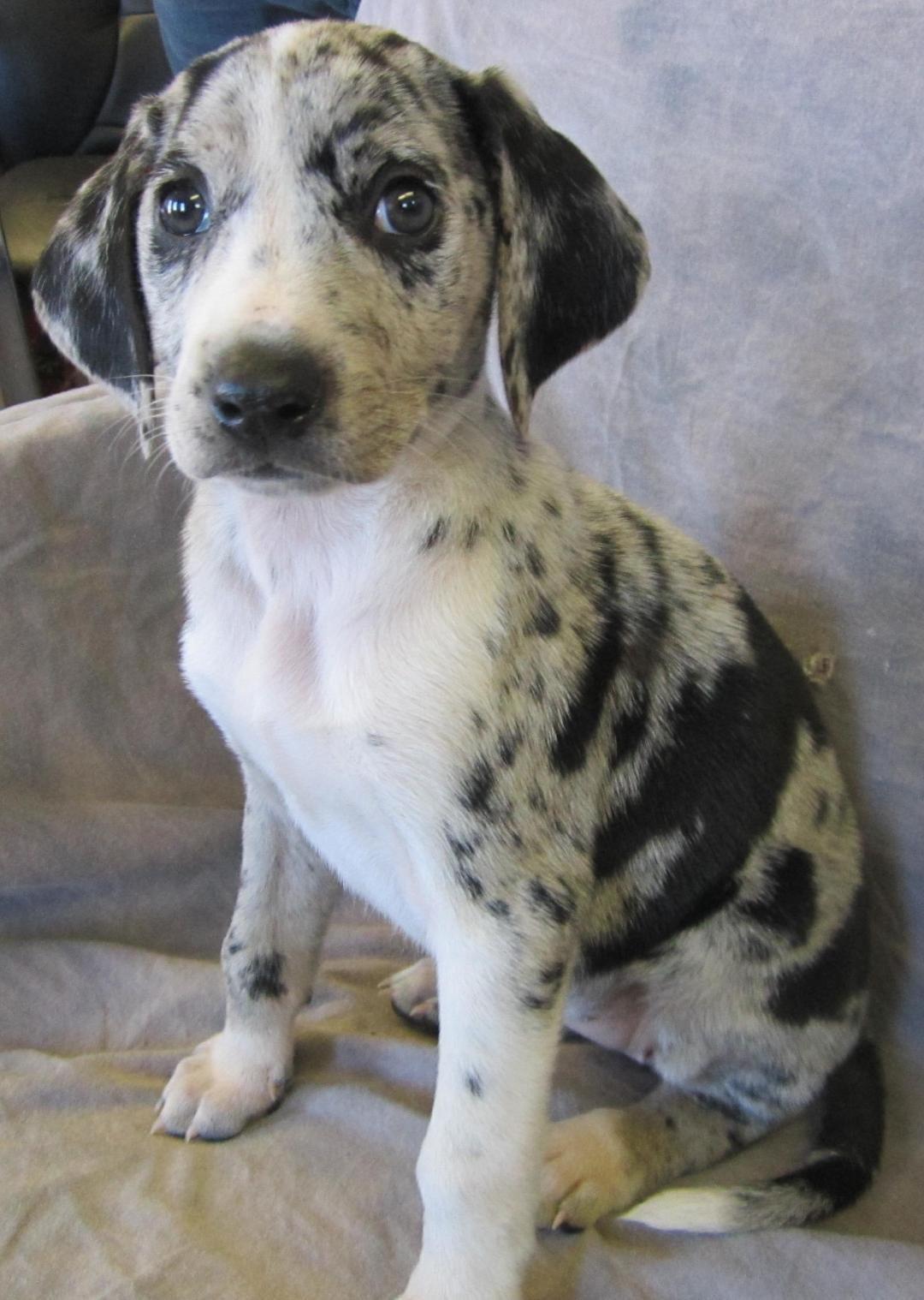 Adopt WHITNEY on Petfinder Catahoula leopard dog mix