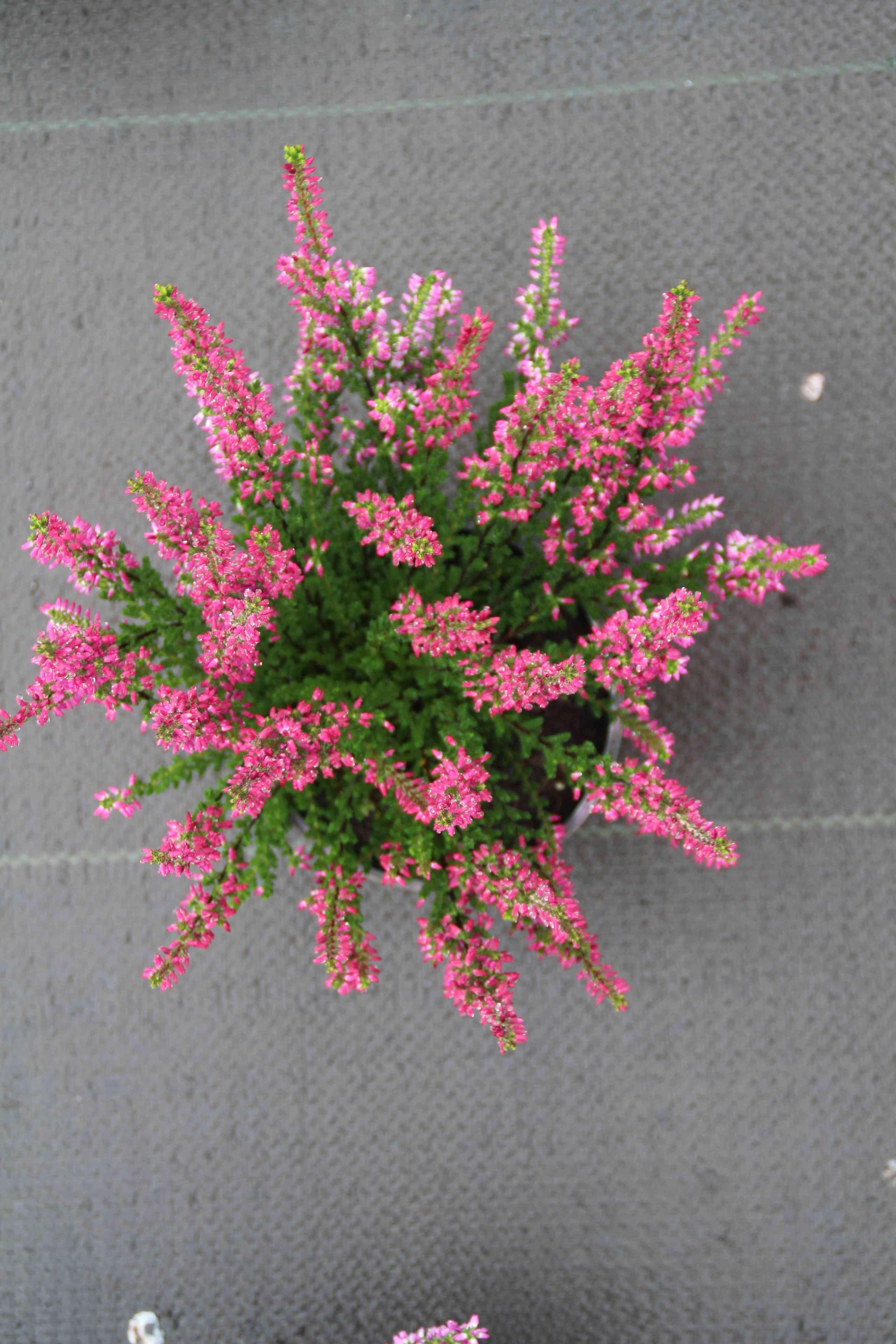Struikheide calluna vulgaris usaphirau tuin tijd pinterest