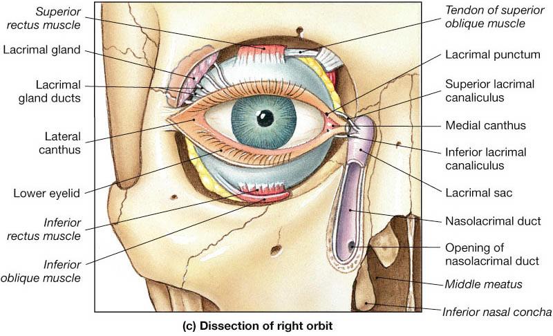 Posterior Lacrimal Crest Google Search Medical Memes Pinterest