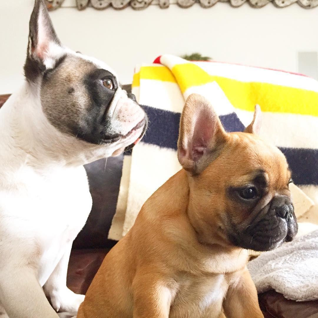 French Bulldogs Cute french bulldog, French bulldog, Bulldog