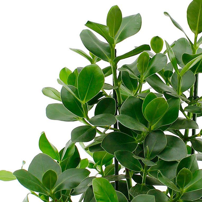 Clusia Rosea Tips Indoor plants Clusia, Indoor plants, Plants are friends