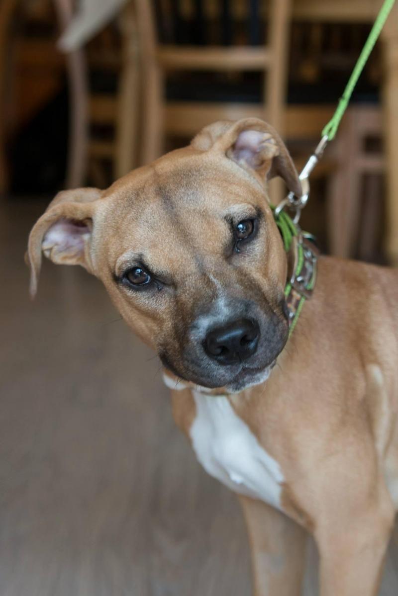 Adopt Victoria On Petfinder Pitbulls Pitbull Terrier Dog Adoption