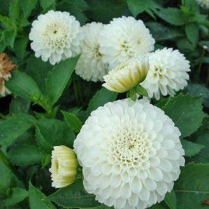 dahlia blanc - google search | inspiration for gardening