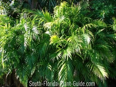 A cat is similar in looks to an areca palm except the for Areca palm safe for cats