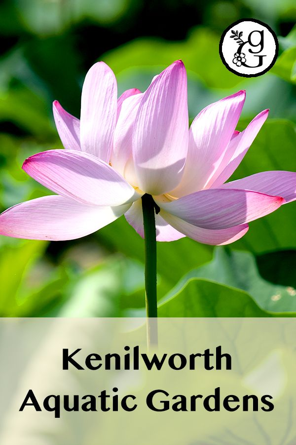 Kenilworth Aquatic Gardens, Washington, D.C. -  The sight of the gardens in full bloom will take your breath away!  #gradinggardens #gardenreview #gardenblog #garden #flowers #lotus #waterlily #lotusgarden #aquaticgarden #publicgarden #watergarden #washingtonDC #KenilworthAquaticGardens
