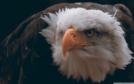 Fierce Looking Eagle Desktop Nexus Wallpapers Bald Eagle Eagle Wallpaper Bald Eagle Images