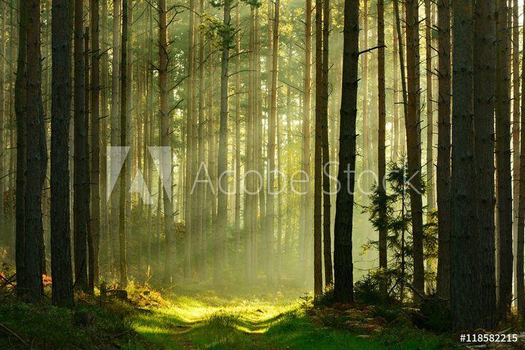 Fotobehang Nikkel Art.Fotobehang Footpath Through Spruce Tree Forest Illuminated