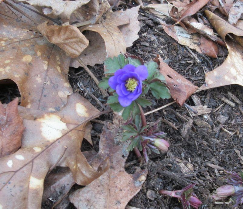Anemone blanda, 3/8