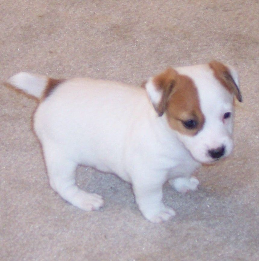 Shorty Jacks By Dyas Farms Jack Russell Puppies Jack Russell