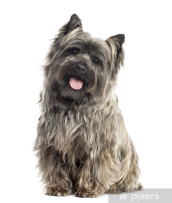 Front View Of A Cairn Terrier Sitting Panting Isolated On Whit Wall Mural Pixers We Live To Change In 2020 Cairn Terrier Cairn Terrier