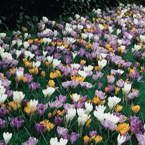 Giant Crocus For Naturalizing With Images Crocus Bulbs Spring Flowering Bulbs Crocus Flower