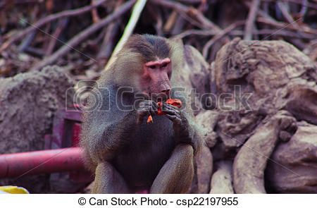Baboon Monkey Chilling in the Zoo - csp22197955 #Photography #StockPhotography #Art #portfolio #Portrait #Pharaoh #Lightplay #Landscape #IslamicArt #Nature #Chess #Pets #FigurePhotogrpahy #ProductPhotography #NightLife #Abstract #Sea #Ocean #Coffee #Africa #Egypt #Oriental #Vacation #Sky #Toys #Historic #Landmark #Calligraphy #Monkey #desert #Sunset #Background #Oud #Arabian #Minions #Christmas #NewYear2015 #Card #ChristmasCard