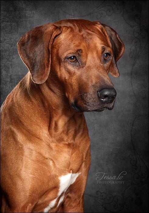 Fantastic Rhodesian Ridgeback Brown Adorable Dog - 5d4a3cac3a07dd6d72266d2805db7495  Best Photo Reference_283488  .jpg