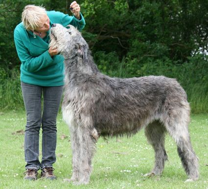 The Largest Irish Wolfhound | Most Wolfhounds like to spend plenty of ...