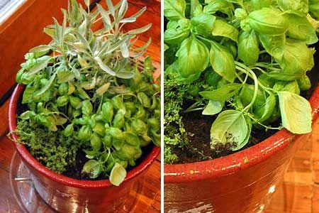 How To Make A One P*T Indoor Herb Garden Herbs Indoors 400 x 300