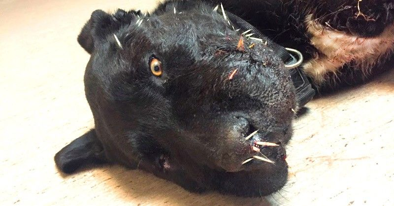 5d4a8f7d099c99d2275107e912cfc25a - How To Get Porcupine Quills Out Of A Dog